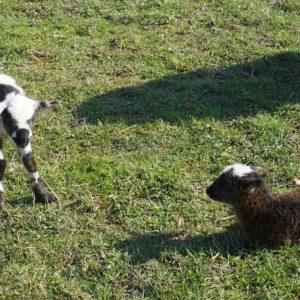 Zwillingslämmchen von Mutterschaf Marianne auf Weide