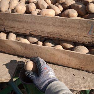 Erdäpfel setzen - Nahaufnahme
