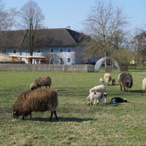 Schafherde mit Lämmern vor Heidingerhof