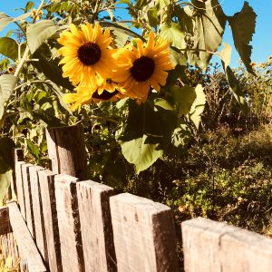 Sonnenblumen am Gartenzaun