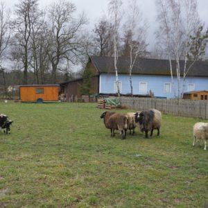 Schafherde mit Zwillingslämmern und Mutterschaf Maggie auf der Weide