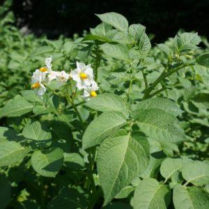 Erdäpfelpflanze: Blüte
