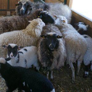 Schafe im Winterkleid vor der Schur