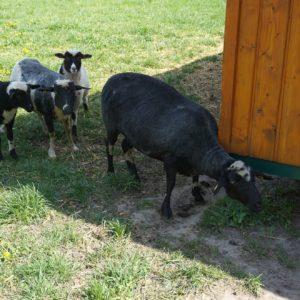 frischgeschorene Schafe